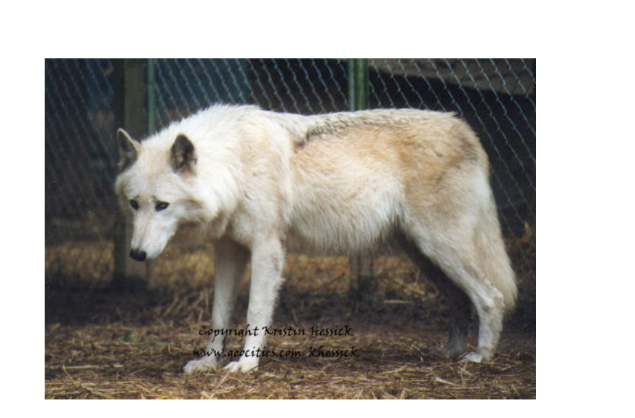 Wolves Facts About Wolves Free Books Childrens Stories